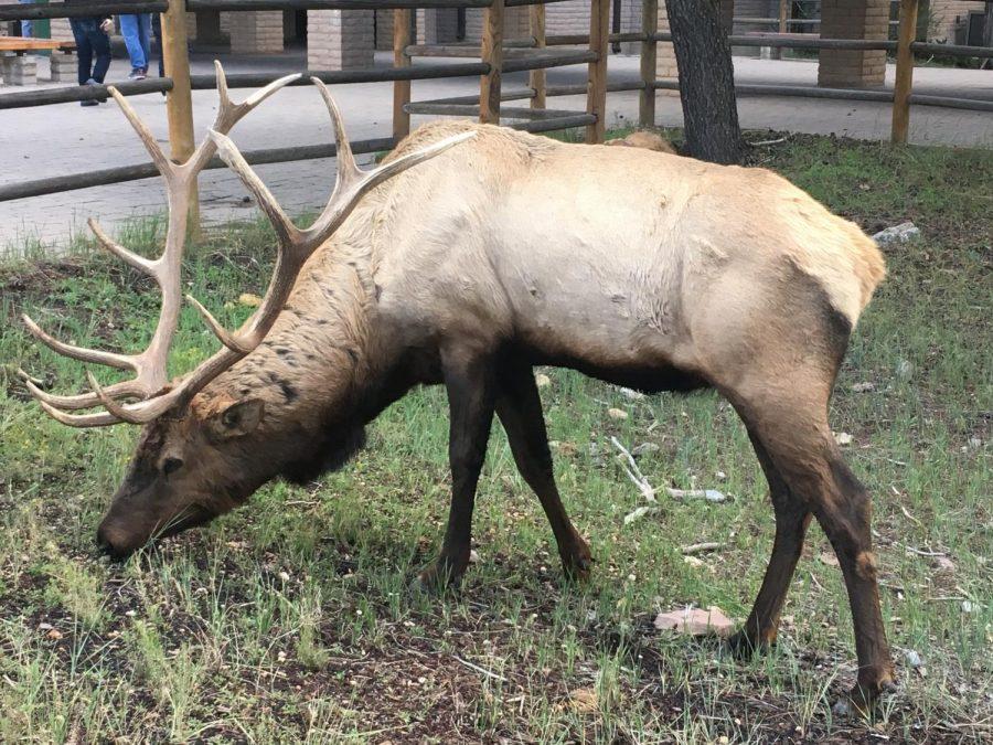 An elk outside the Yavapai lodge in Grand Canyon Village.