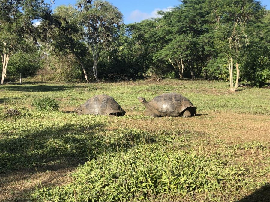 Two tortoises lazily eating grass on a tortoise ranch on Santa Cruz Island. Students toured this ranch to see this endangered species up close and personal.