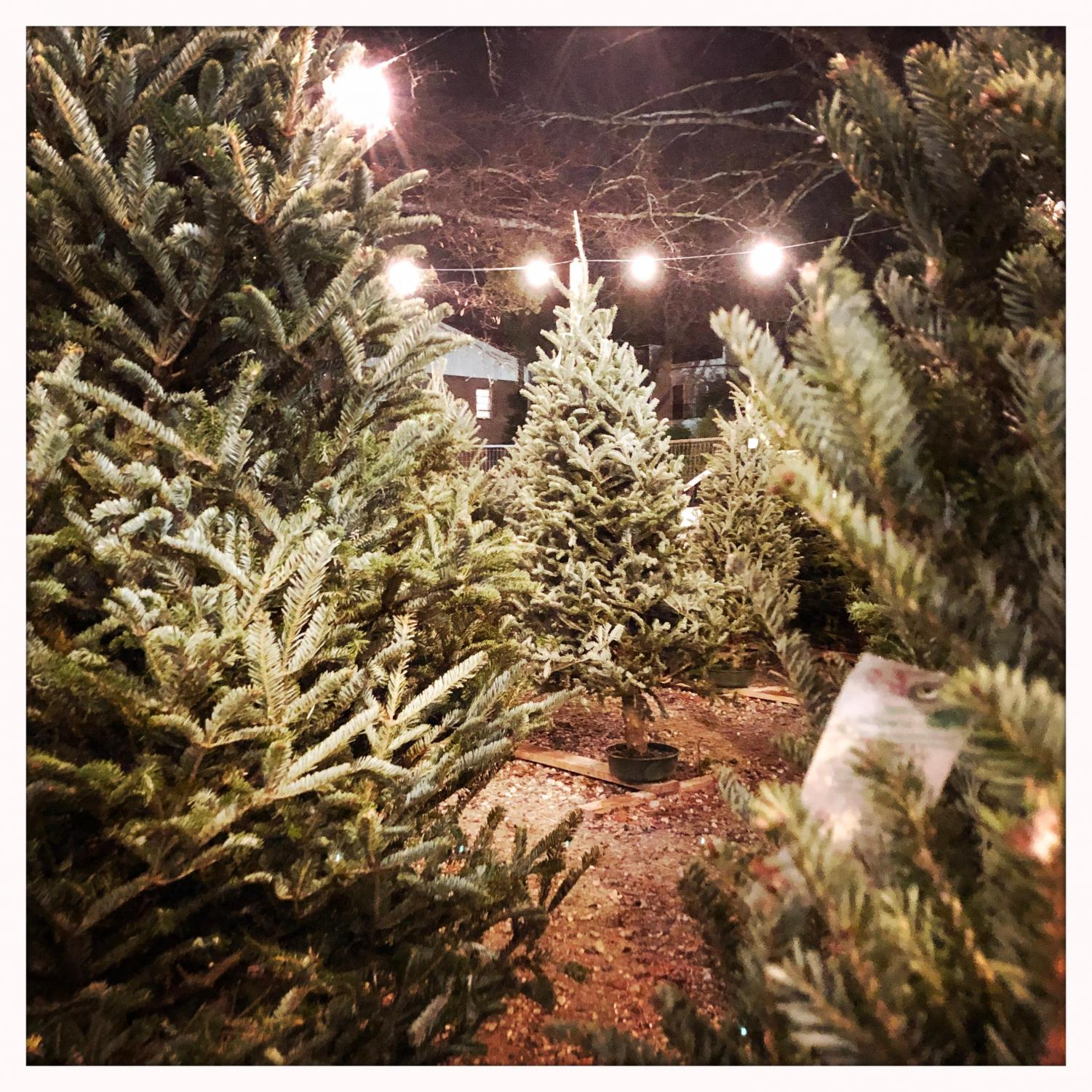 Trees are lined up row by row to make selecting a tree easy for customers. The lot is also festively decorated with lights.